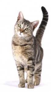 Cat standing tail raised white background