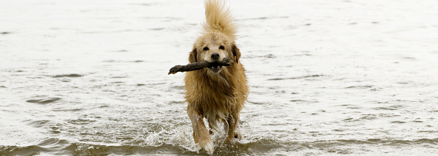 dog fetching stick from water