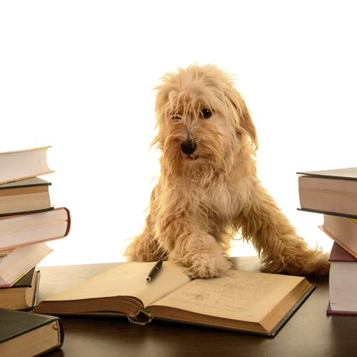 terrier reading a book
