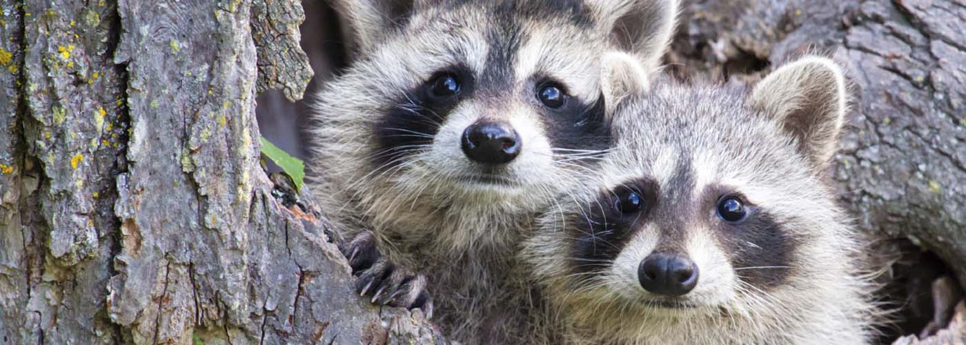 Juvenile Racoons in a Tree  Procyon lotor  MORE MAMMALS[url=http://www.istockphoto.com/search/lightbox/4044667] [IMG]http://www.istockphoto.com//file_thumbview_approve/7688853/1/istockphoto_7688853-bull-moose-portrait-and-autumn-foliage.jpg[/IMG] [IMG]http://www.istockphoto.com//file_thumbview_approve/10557169/1/istockphoto_10557169-grizzly-bear-cub.jpg[/IMG] [IMG]http://www.istockphoto.com//file_thumbview_approve/5812523/1/istockphoto_5812523-deer-buck-in-winter-snow.jpg[/IMG] [/URL]