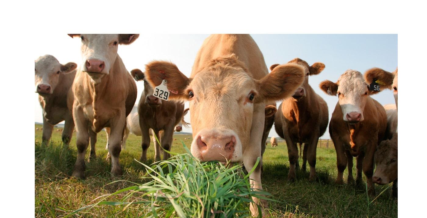 Grass-Fed-Cattle